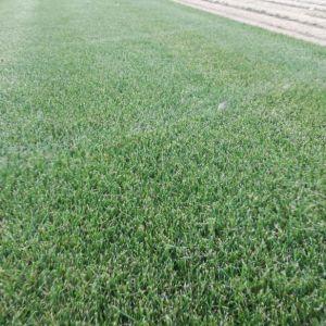 Натуральный рулонный газон производство