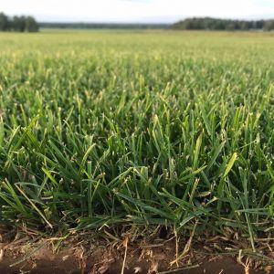 Кпачественный травостой газона