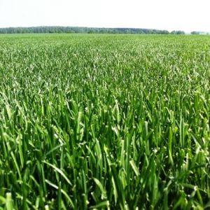Рулонный газон «Партерный»